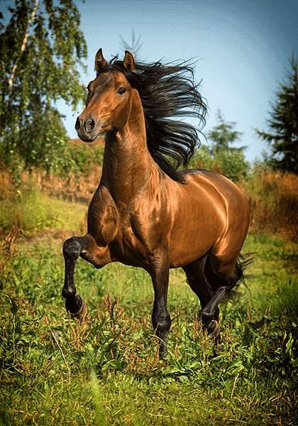 اسب ترکمن