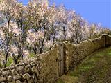 دیوار گلی و شکوفه بهاری