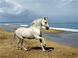 اسب سفید در ساحل