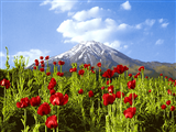 گل شقایق کوه دماوند